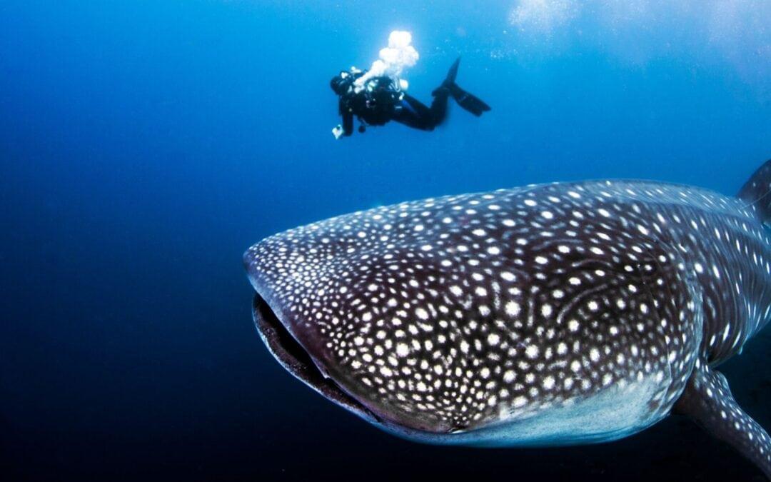plonger avec requin baleine