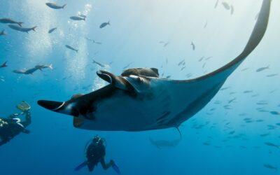 Meilleures destinations de plongée pour voir les raies manta